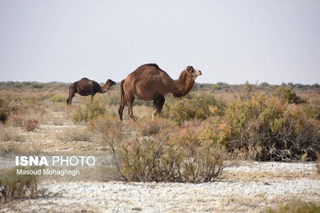 شترهای بیساربان و مرگ تدریجی میراثی ۶۰ ساله